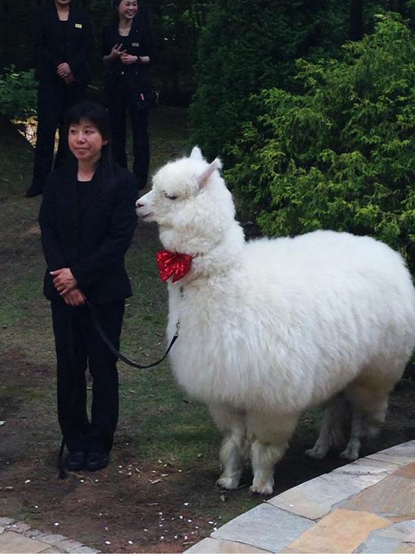 wedding-alpaca-witness-Epinard-Nasu-japan-4
