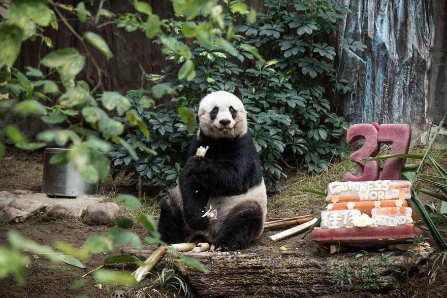 worlds-olderst-panda-celebrates-37th-birthday-4