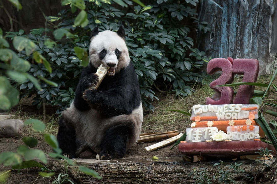 World S Oldest Panda Celebrates 37th Birthday And Sets