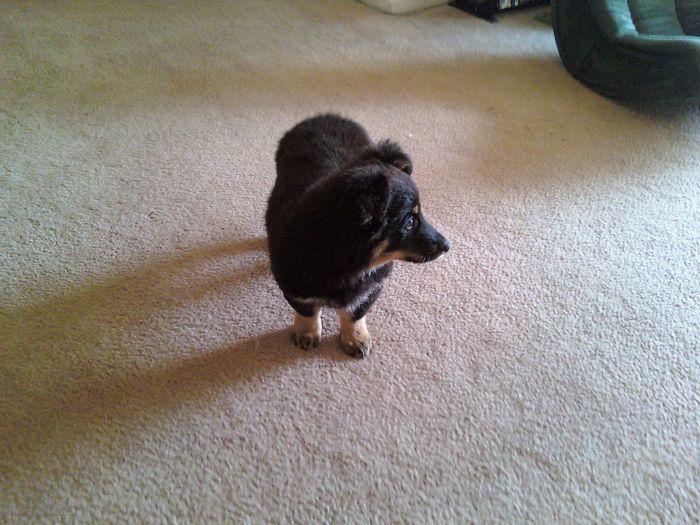 Corgi + Australian Shepherd (about Three Months Old)