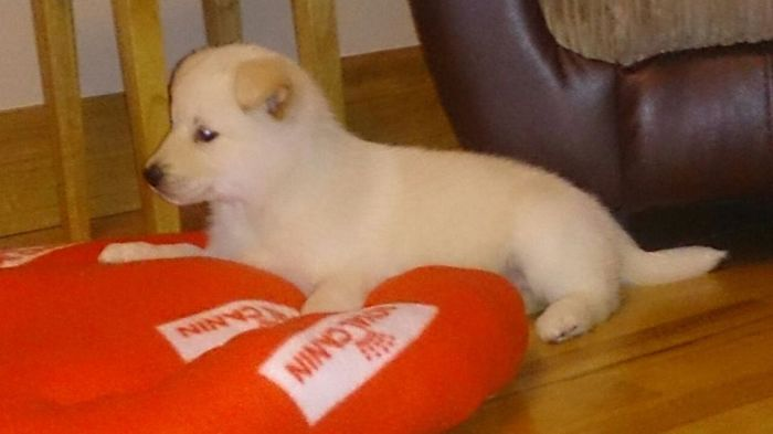 Lucy As A Puppy (husky/labrador)
