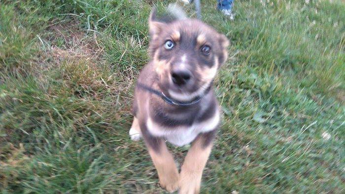 Loki, My Husky/german Shepherd Mix