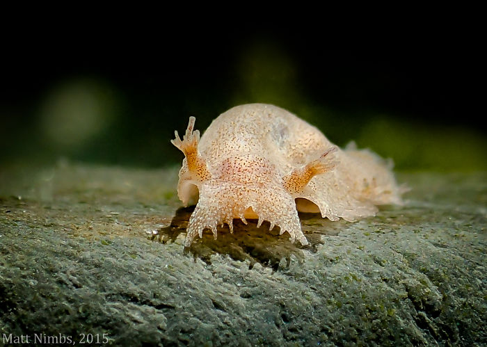 Marionia Platyctenea