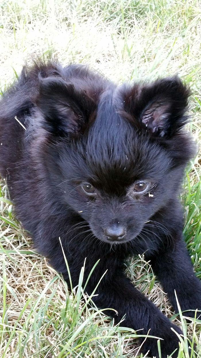 Rogue- Our Pomeranian/corgi Mix. 12 Weeks Old :)
