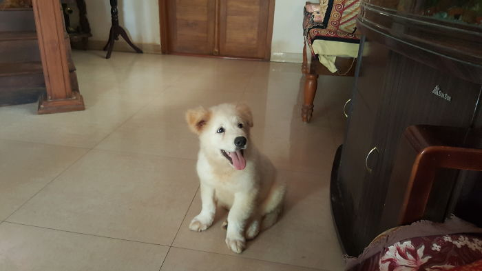 Golden Retriever + Akita