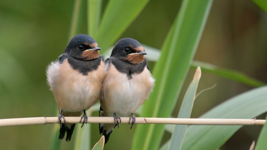 Two Juvenile Barn Swallows Waiting For Their Parents With Food ©rob Belterman