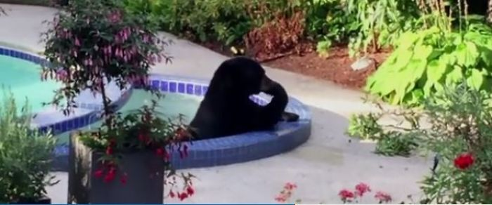 Big Bear Chooses To Relax And Freshen Up In A Family Garden Pool