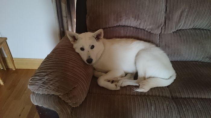 Siberian Retriever (husky/labrador)