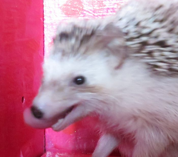 Proof That Hedgehogs Have Insanely Long Tongues *c*