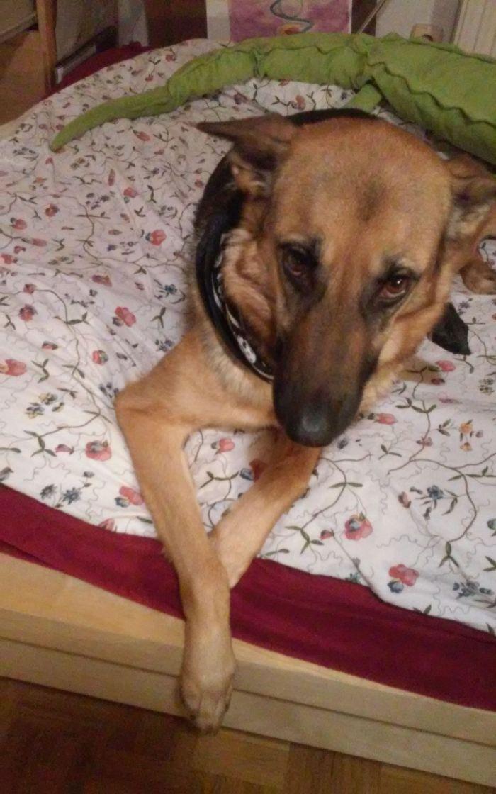 Tyra (german Shepherd + Greyhound) ^^