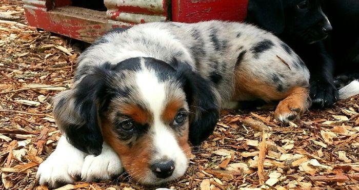 Molly, Our Aussie Shepherd Cavalier Mix
