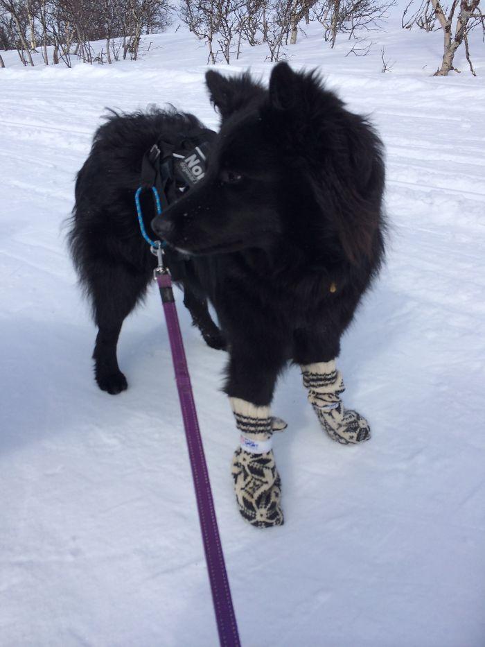 Black Norwegian Elkhound + Lapponian Herder