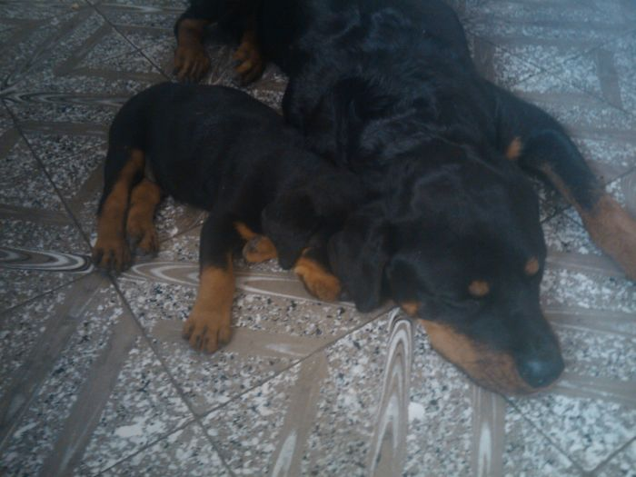 Little Rottweiler Tofi And Jacky