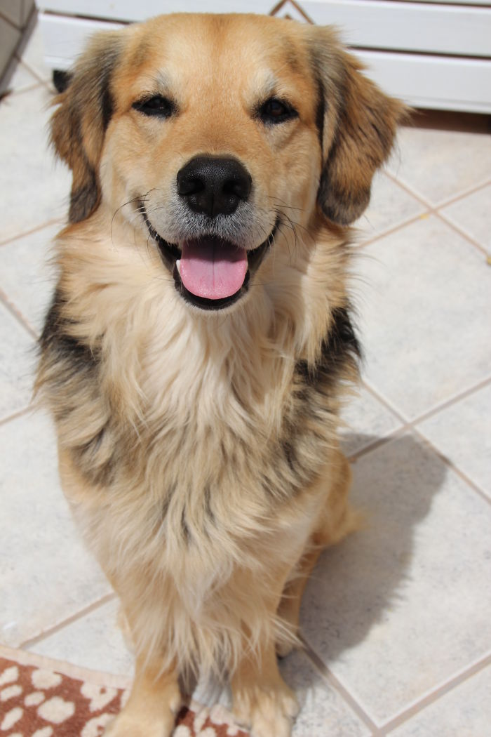 Dave – Mix Of Golden Retriver, German Shepard And Collie ...
