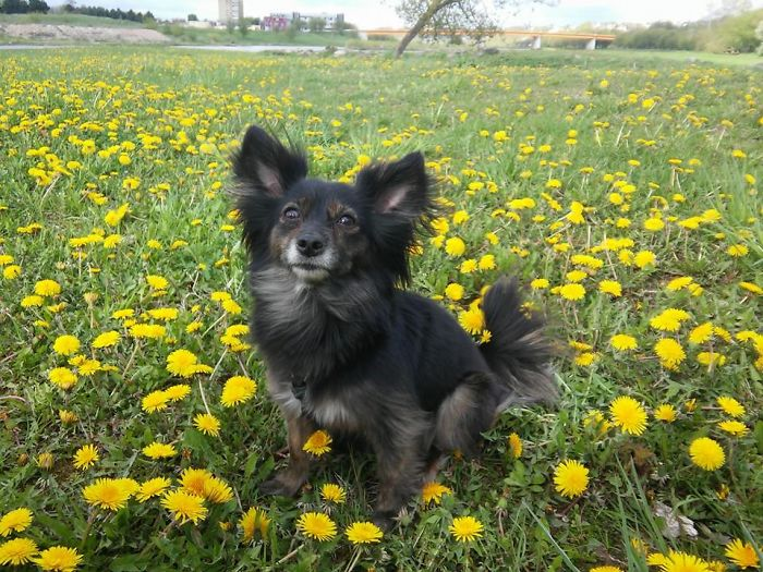 Matilda – Toychi (toy Terrier And Chichuachua)