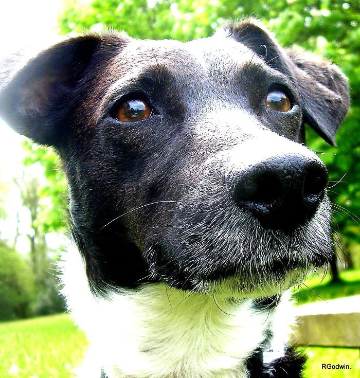 Louie. Jack Russell Terrier X Collie.