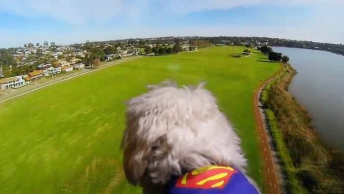 Superdog Flying Like Superman! Helps Anytime When, U Are In Trouble!