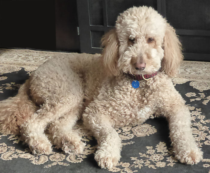 Beautiful Teddy At 6 Years (golden Retriever And Standard Poodle)
