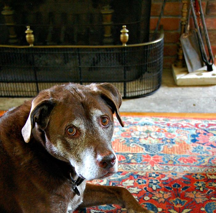Webster – A Pit Bull Chocolate Lab Mix – 13 Years Young – The Best!