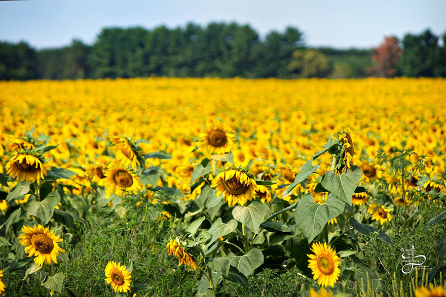 babbettes-seeds-hope-cancer-sunflower-four-miles-14