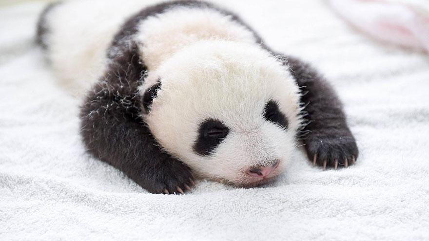 baby-panda-basket-yaan-debut-appearance-china-10