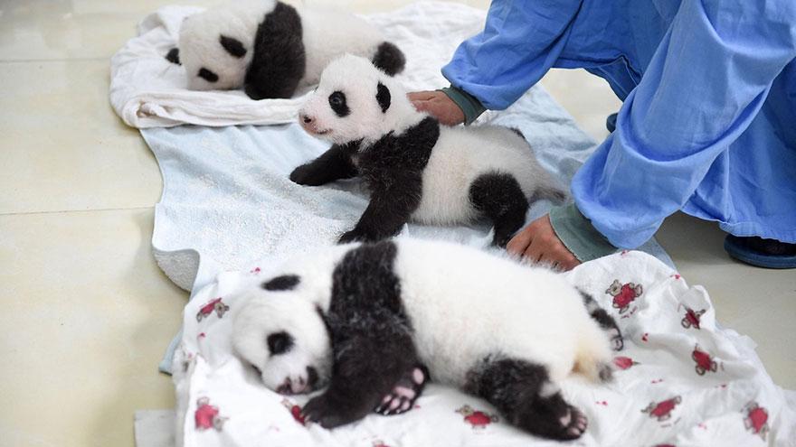 baby-panda-basket-yaan-debut-appearance-china-14