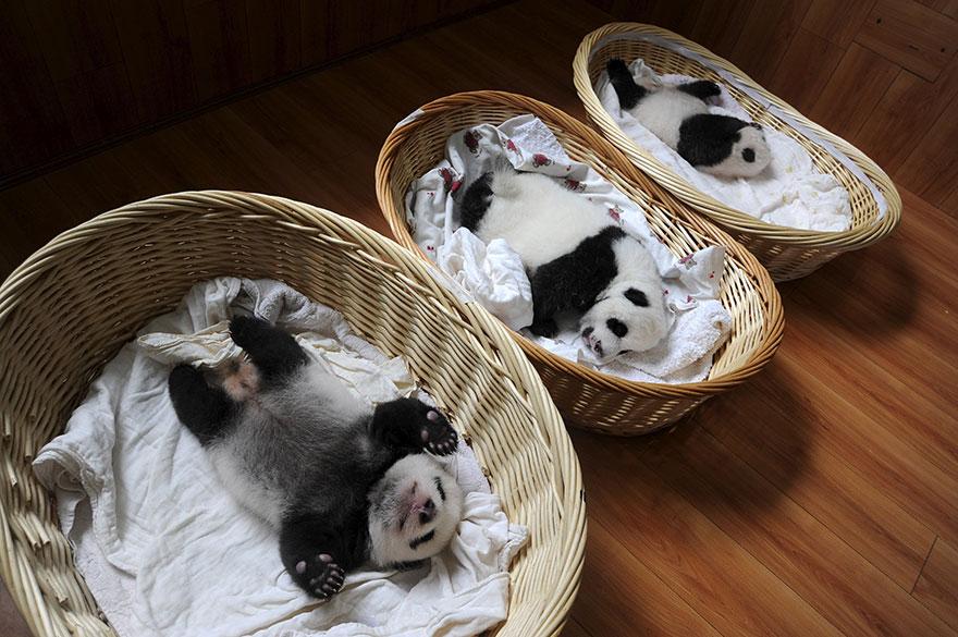baby-panda-basket-yaan-debut-appearance-china-19