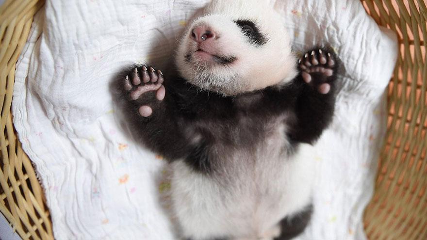 baby-panda-basket-yaan-debut-appearance-china-27
