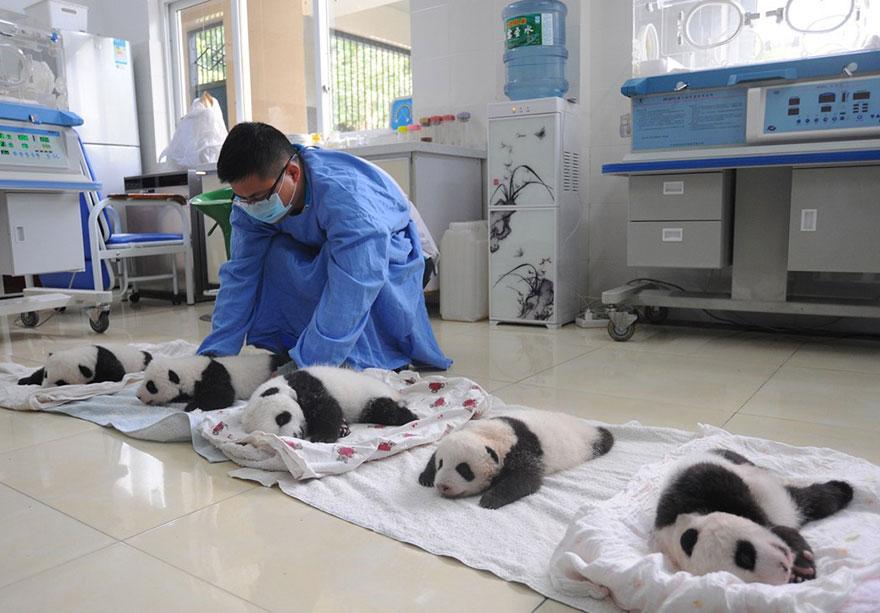 baby-panda-basket-yaan-debut-appearance-china-28