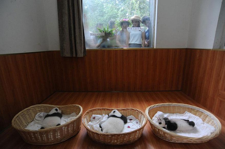 baby-panda-basket-yaan-debut-appearance-china-4