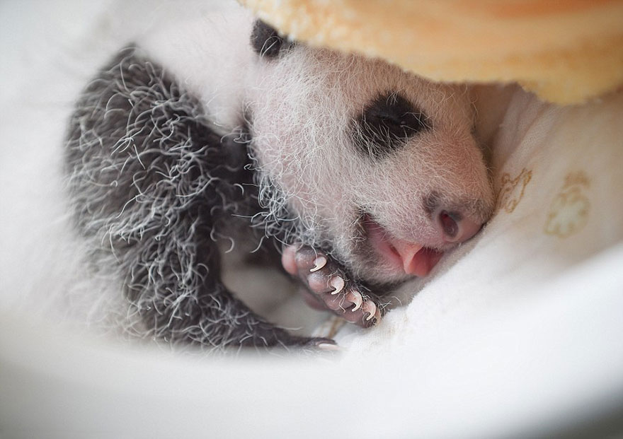 baby-panda-basket-yaan-debut-appearance-china-6