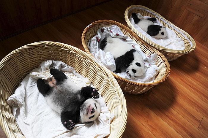 Panda Babies Sleeping In Baskets Make Their First Public Appearance At Chinese Panda Breeding Center