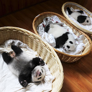 http://static.boredpanda.com/blog/wp-content/uploads/2015/08/baby-panda-basket-yaan-debut-appearance-china-thumb.jpg