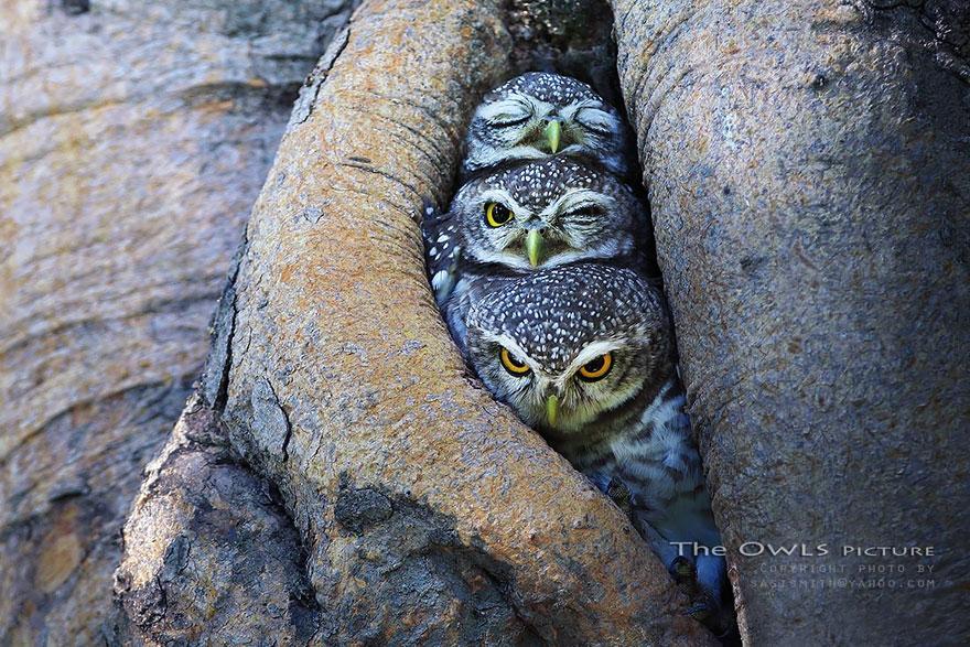 Owls Keeping Warm