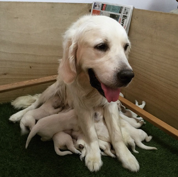 breastfeeding-golden-retriever-puppies-dog-octopus-1