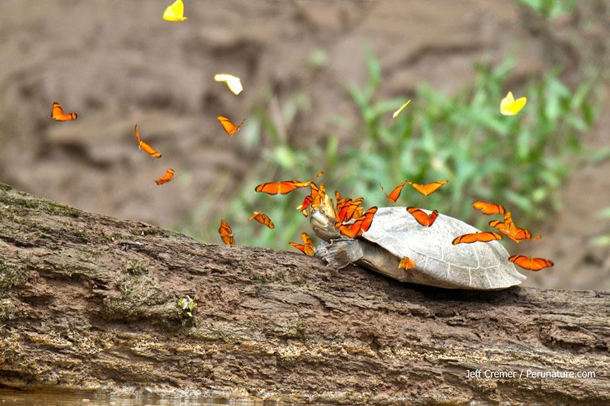 butterflies-drink-turtle-tears-lacryphagy-ecuador-5