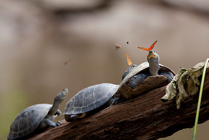 Butterflies Drinking Tears From Turtle And Alligator Eyes Look Like A Scene From Disney