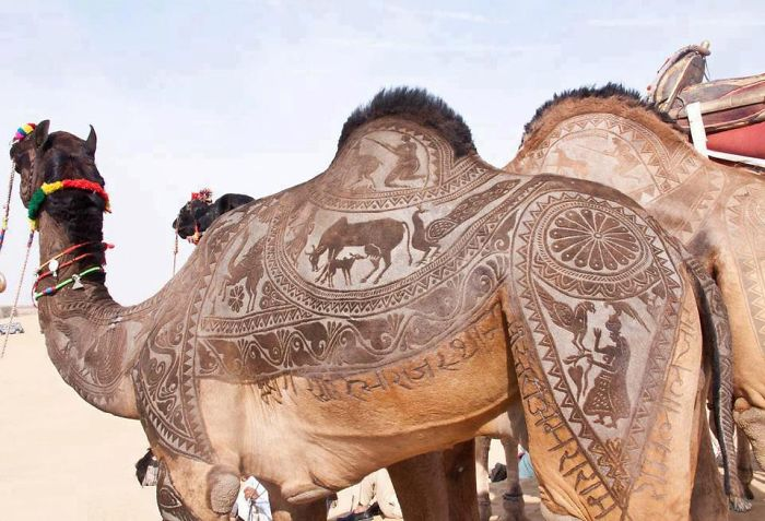 Nomads In India Carve Intricate Patterns Into Their Camels' Fur