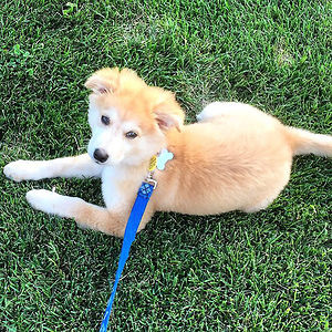 Goberian (Golden Retriever + Husky)