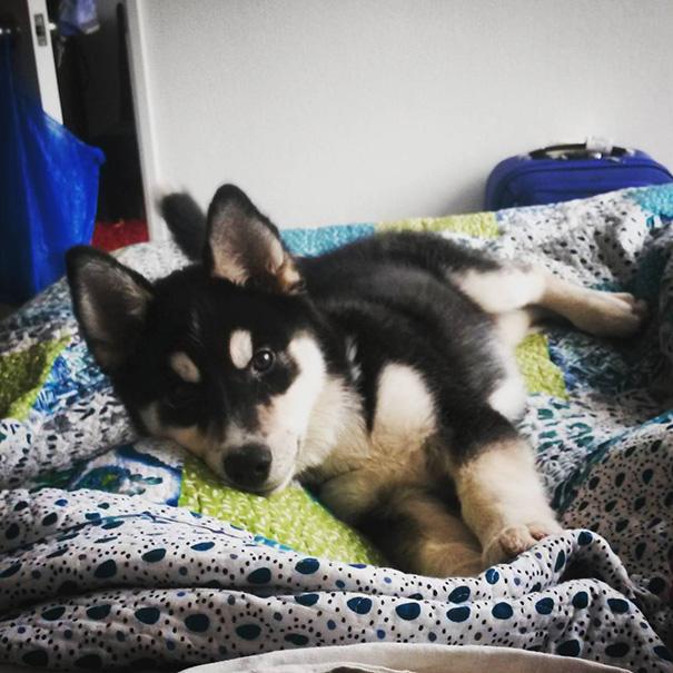 Shepsky (German Shepherd + Husky)