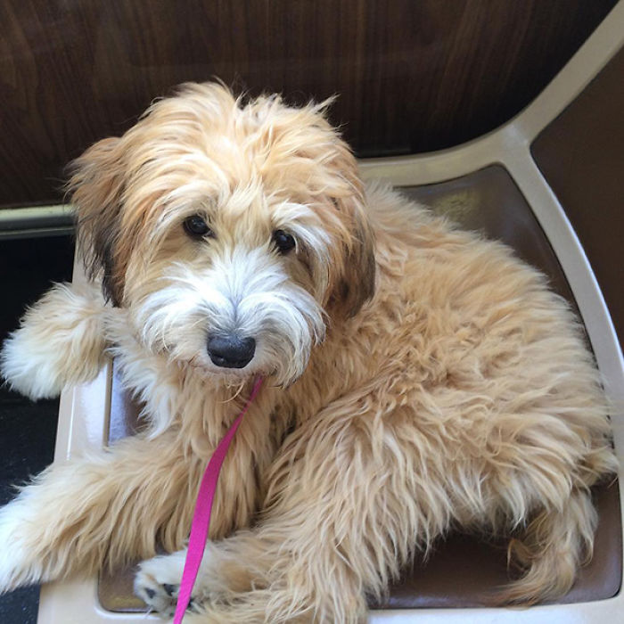 Image Result For Poodle Cross Breeds For Sale