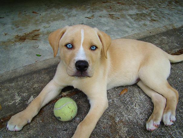 Labsky (Labrador + Husky)