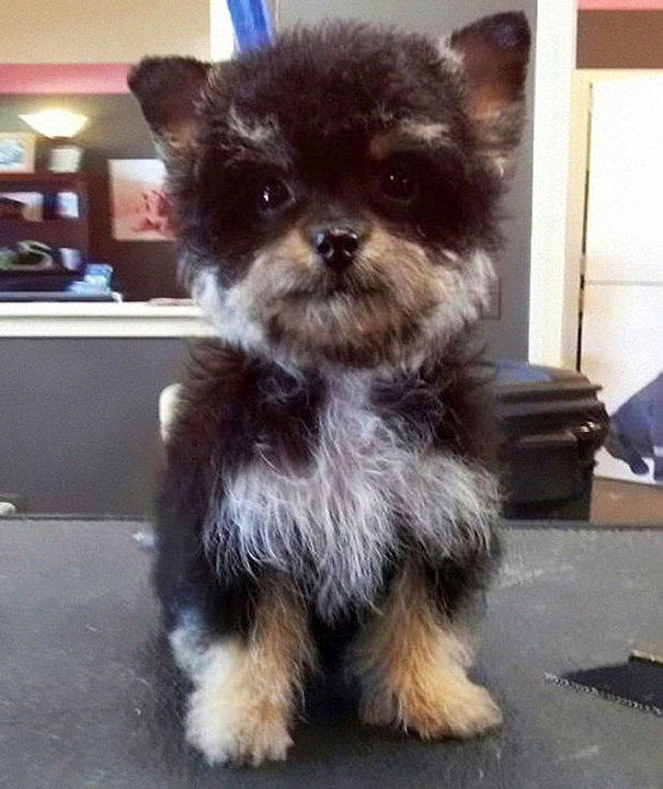 My Boyfriend's New Cutie Yorkie-Poo (Yorkshire Terrier + Poodle) Puppy