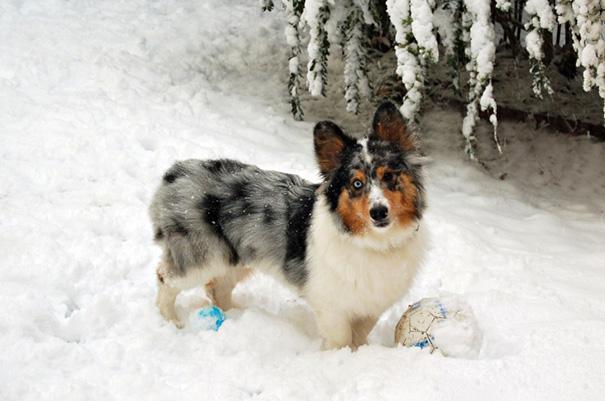 My Dog Toby (Pem Corgi + Shetland Sheepdog)