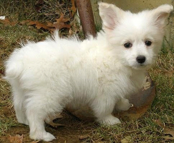 Corgipoo (Toy Poodle + Corgi)