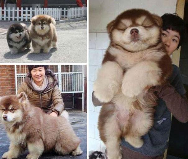 Chusky (Chow Chow + Husky Crossbreed)