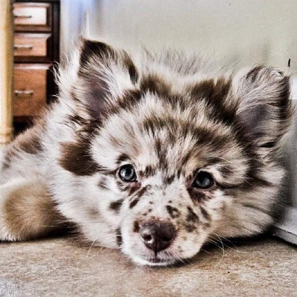 Aussiepom (Mini Australian Shepherd + Pomeranian)