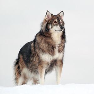 Utonagan (Alaskan Malamute + Siberian Husky + German Shepherd)