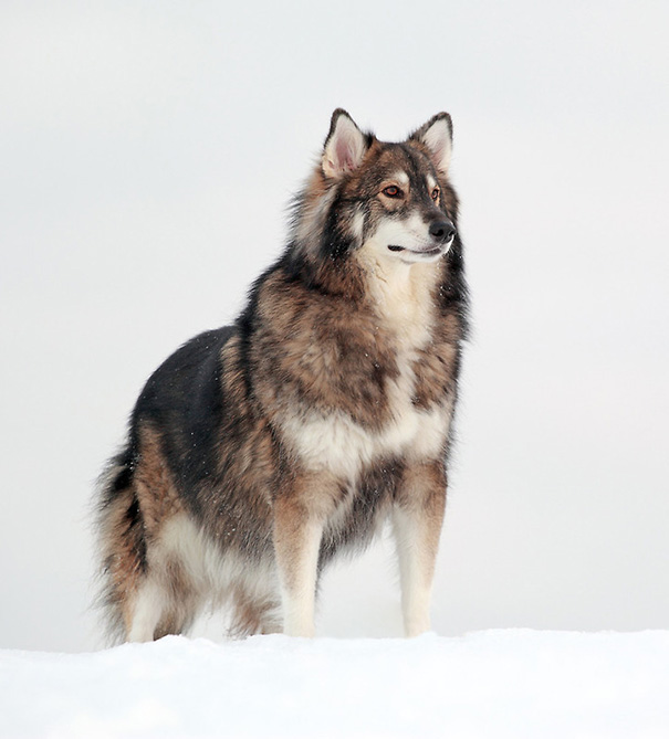 alaskan malamute german shepherd 20 crossbreed dogs that will make you fall in love with 6891