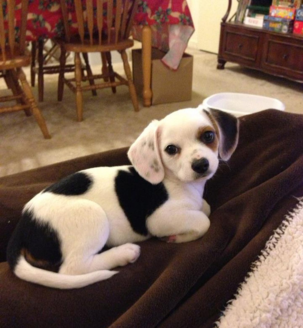 Cheagle (Chihuahua + Beagle)